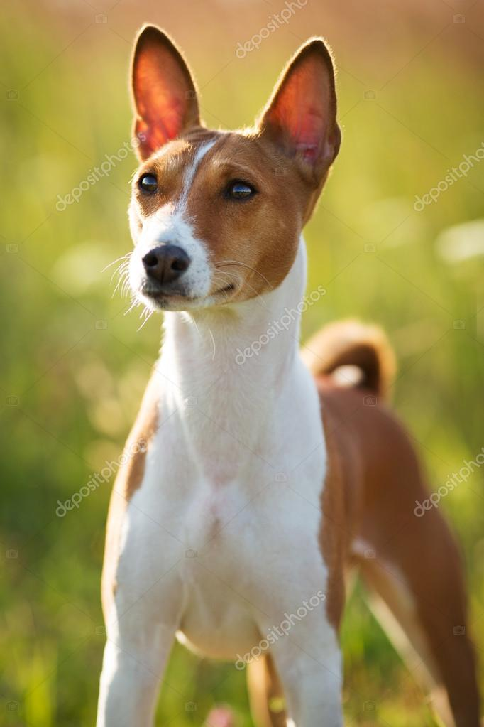 Small Hunting Dog Breed Basenji Stock Photo C Dimedrol68 49508421