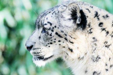 Snow Leopard Watching