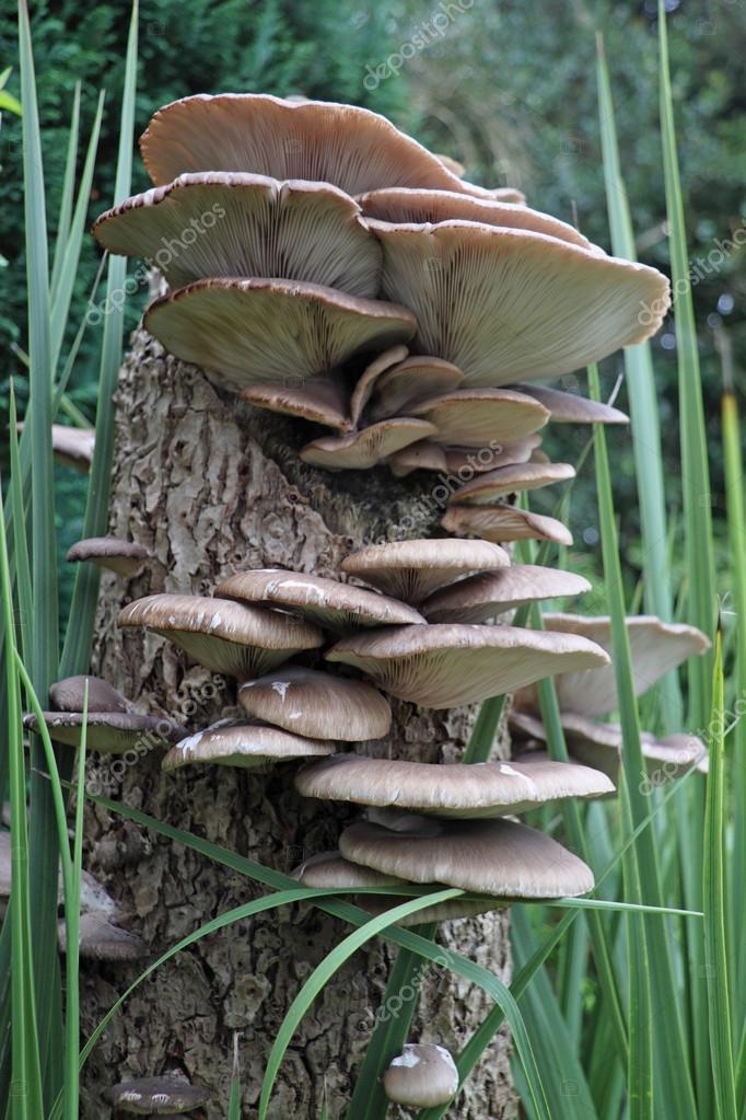 Oyster mushrooms (pleurotus cornucopiae)