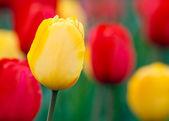 Fotografia tulipani gialli e rossi