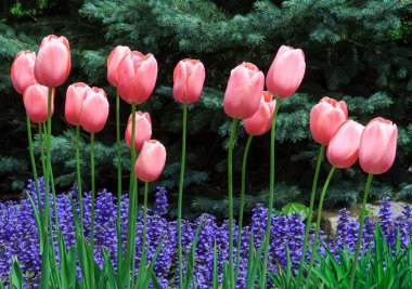 Pink Tulips and Ajuga Flowers