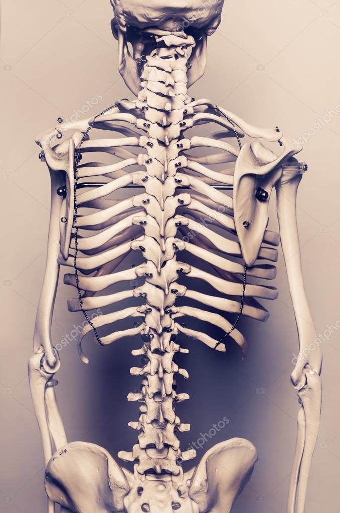 esqueleto humano la vuelta vertebral — Foto de stock © paulmhill ...