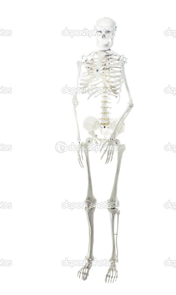 esqueleto humano modelo de cuerpo completo — Foto de stock ...