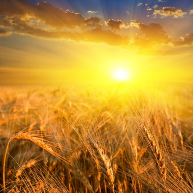 Wheat field in a rays of sun
