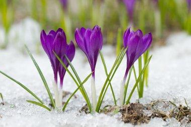 l Spring crocuses