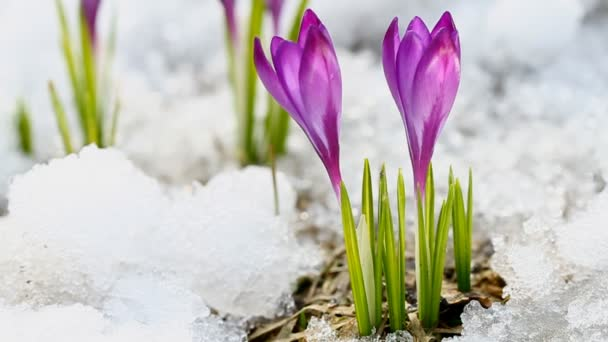 Beautiful spring crocuses