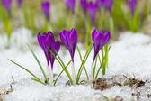 Fotografie schönen Frühling Krokusse