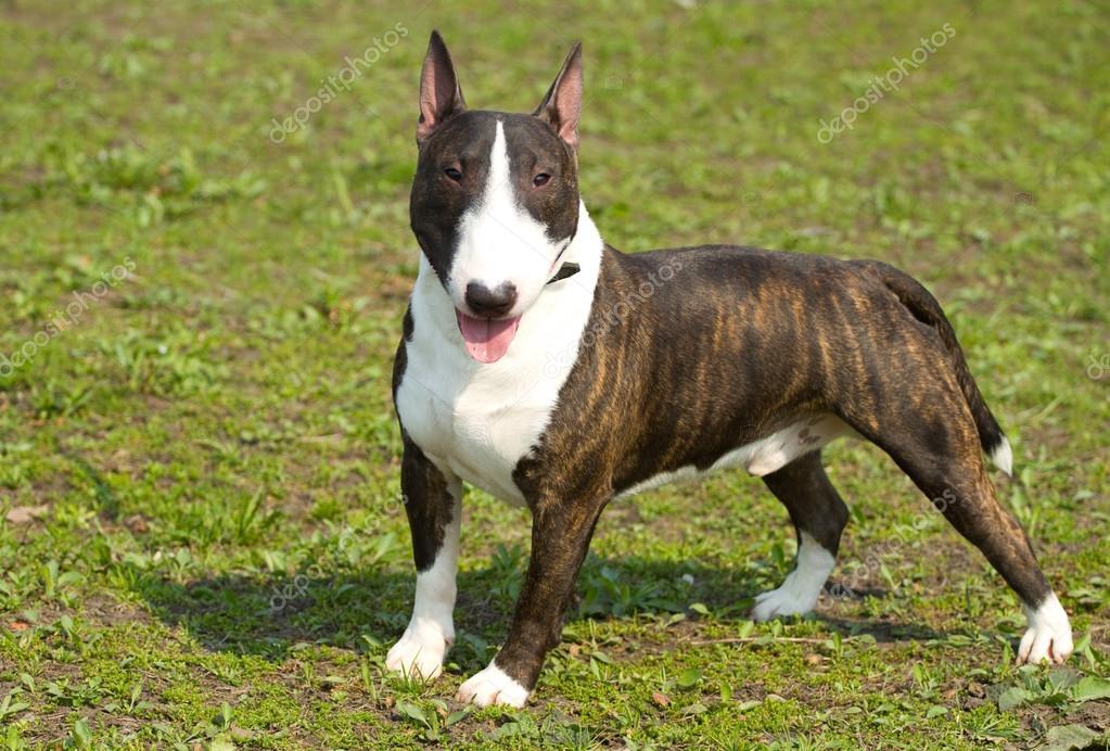 english bull terrier portrait stock photo labrador 24320939