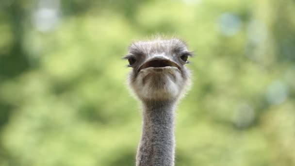 Portrait Ostrich