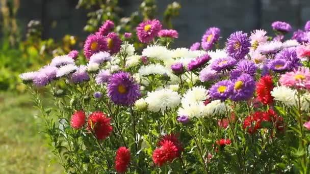 barevné aster květiny
