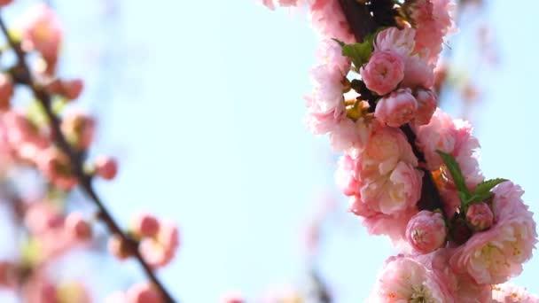 Blossom sakura és a csalogány énekel