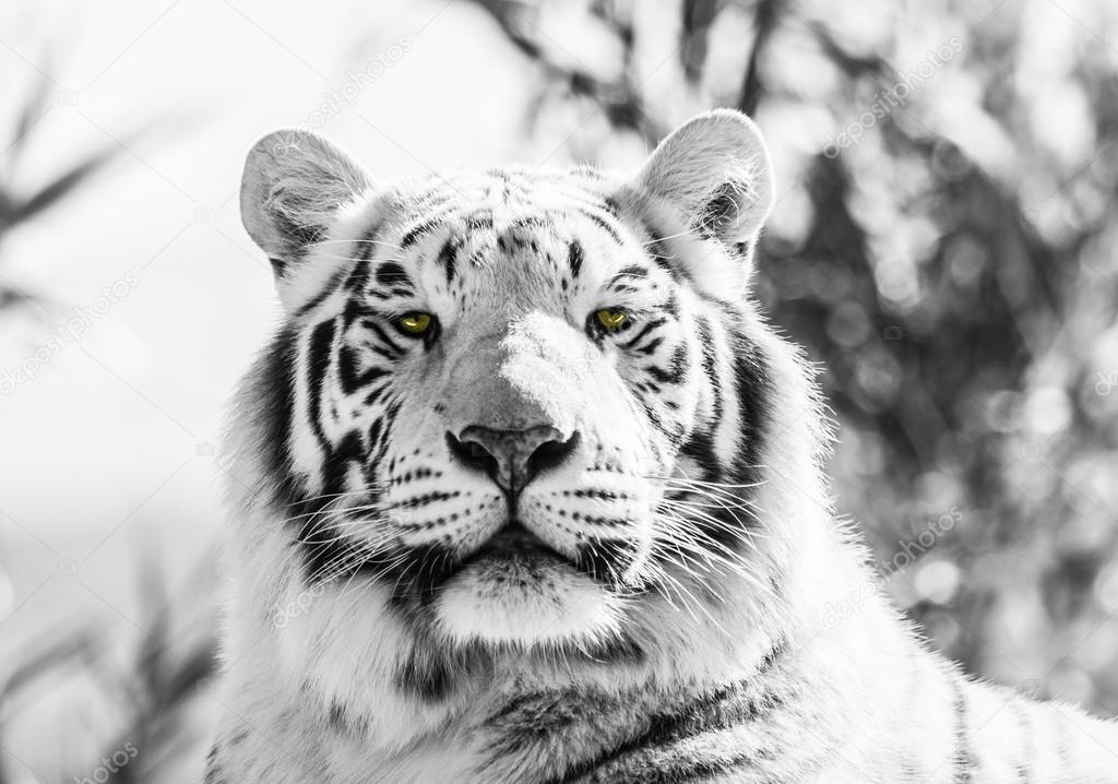 Black and White Majestic Tiger Portrait
