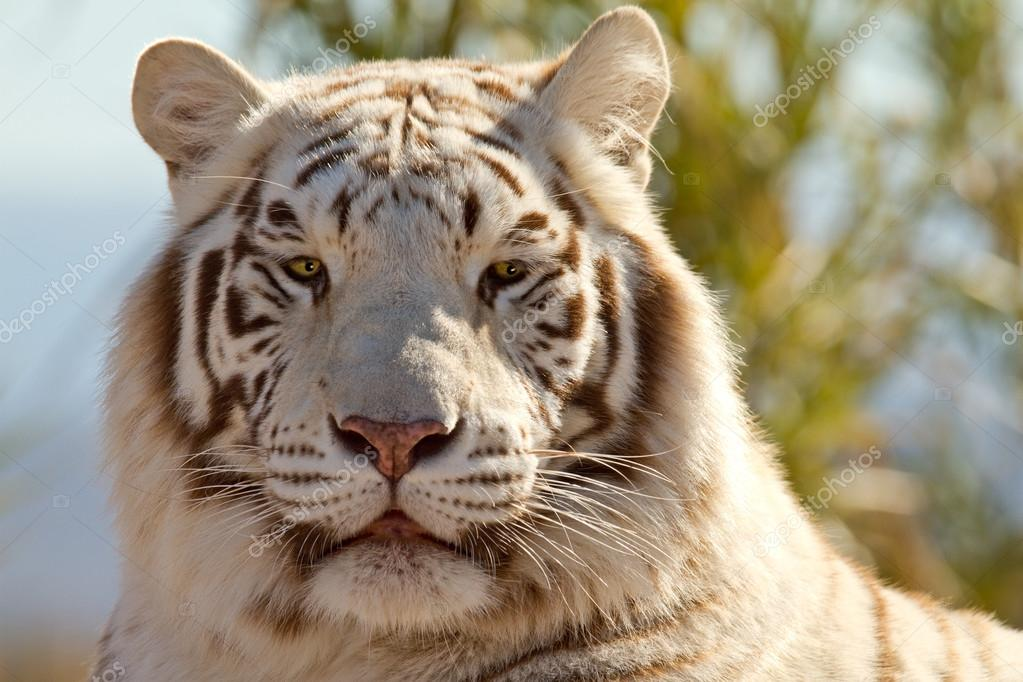 Majestic White Tiger