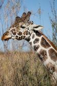 Photo Giraffe in Nature