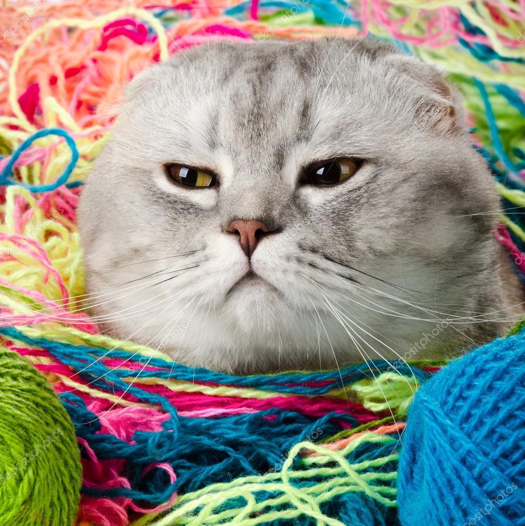 Fluffy gray beautiful adult cat