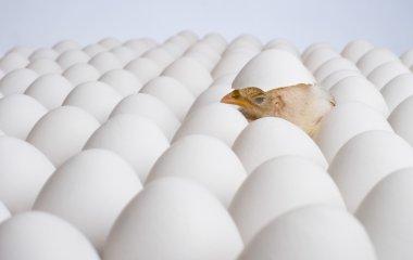 Chicken nestling on many hen's-eggs