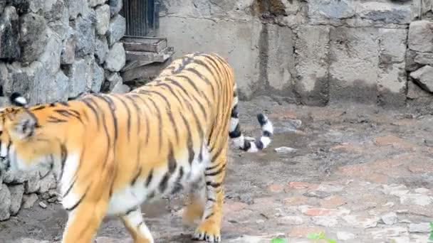 tigris a kerítés.