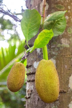Jackfruits hanging from the trunk