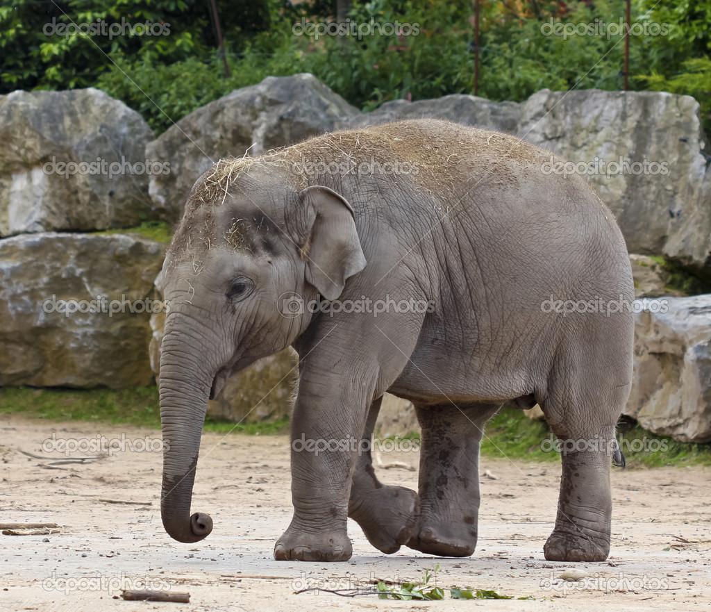 Um beb elefante asi tico no zool gico fotografias de - Fotos de elefantes bebes ...