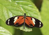 Oranžové a černé deštného pralesa butterfly