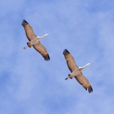 A Sandhill Crane Pair in the Pale Blue