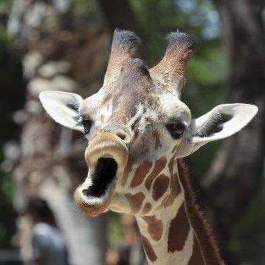 A Giraffe Looks Like It's Singing
