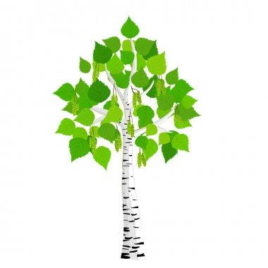 Vector birch tree