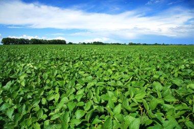 Rural landscape with fresh green soy field. Soybean field
