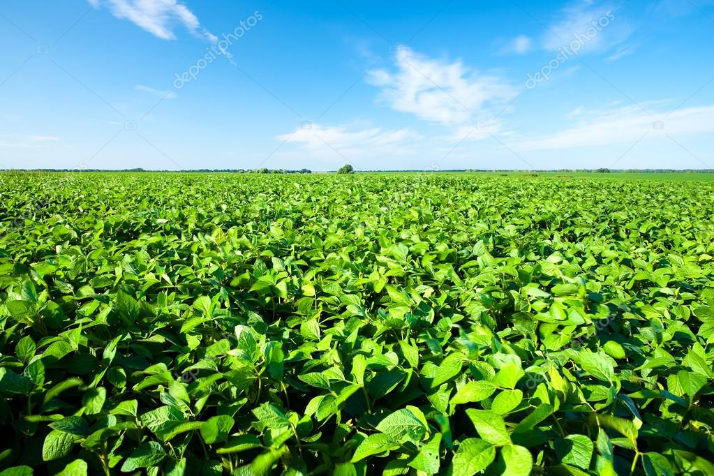 Rural landscape with fresh green soy field. Soybean field