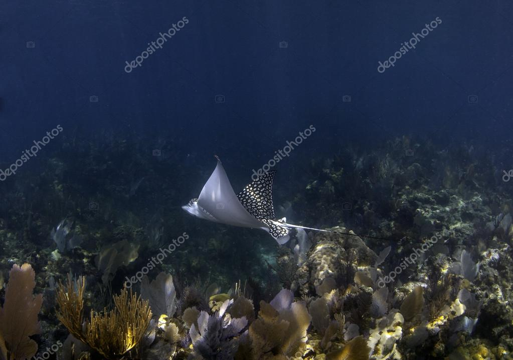 Spotted eagle ray in blue water over coral reef in key largo, florida
