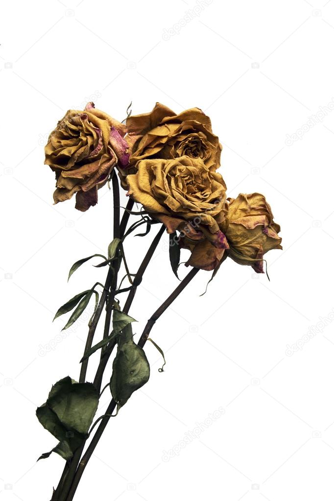 Dead Long Stem Roses Isolated on White Background