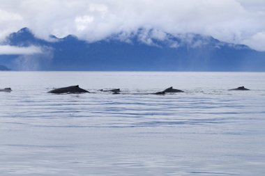 Humpback whale pod feeding in the Icy Strait near Point Adolphus