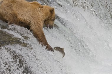 Brown Bear mom catching salmon in Katmai National Park, Alaska