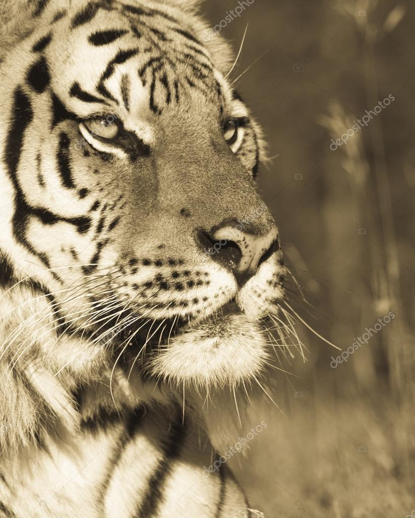 Siberian Tiger Portrait (sepia tone)