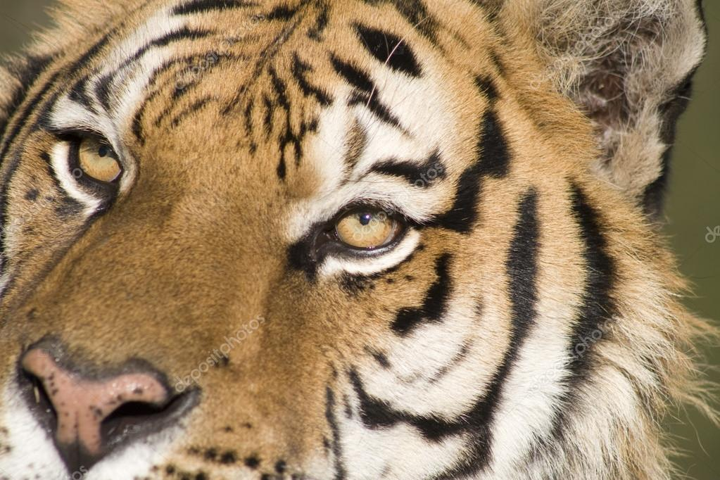 A Siberian Tiger Close Up