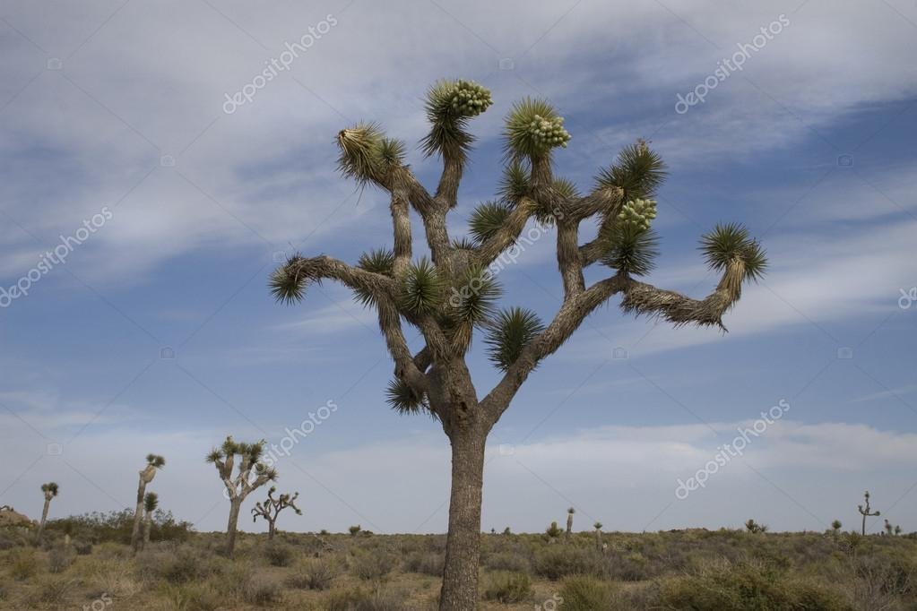 A typical Joshua Tree in bloom in Joshua Tree National Park (with blue moody skies)