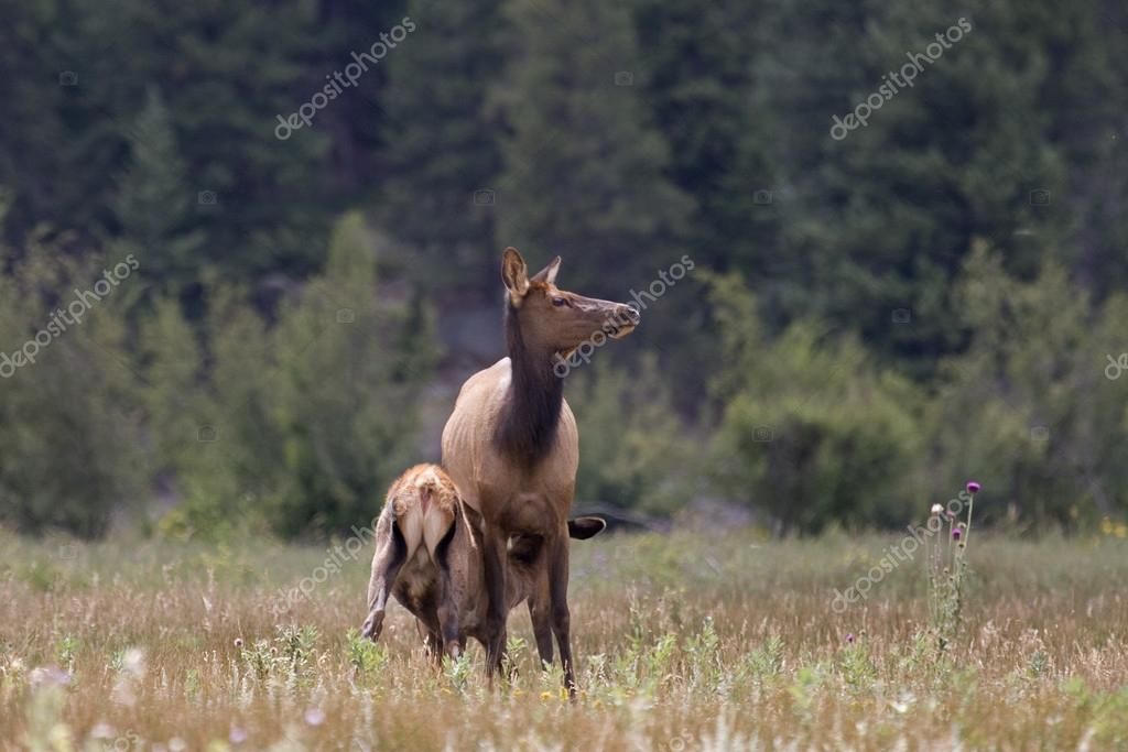 Female Elk nursing her young in a meadow in Rocky Mountain National Park