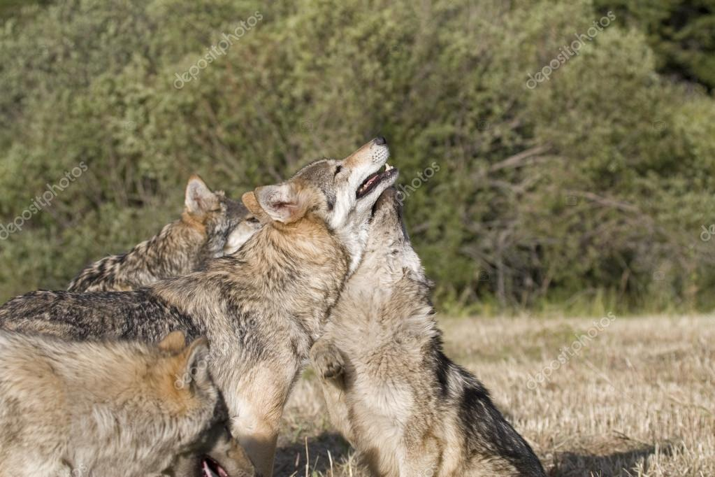 A Gray Wolf pack spends time playing together