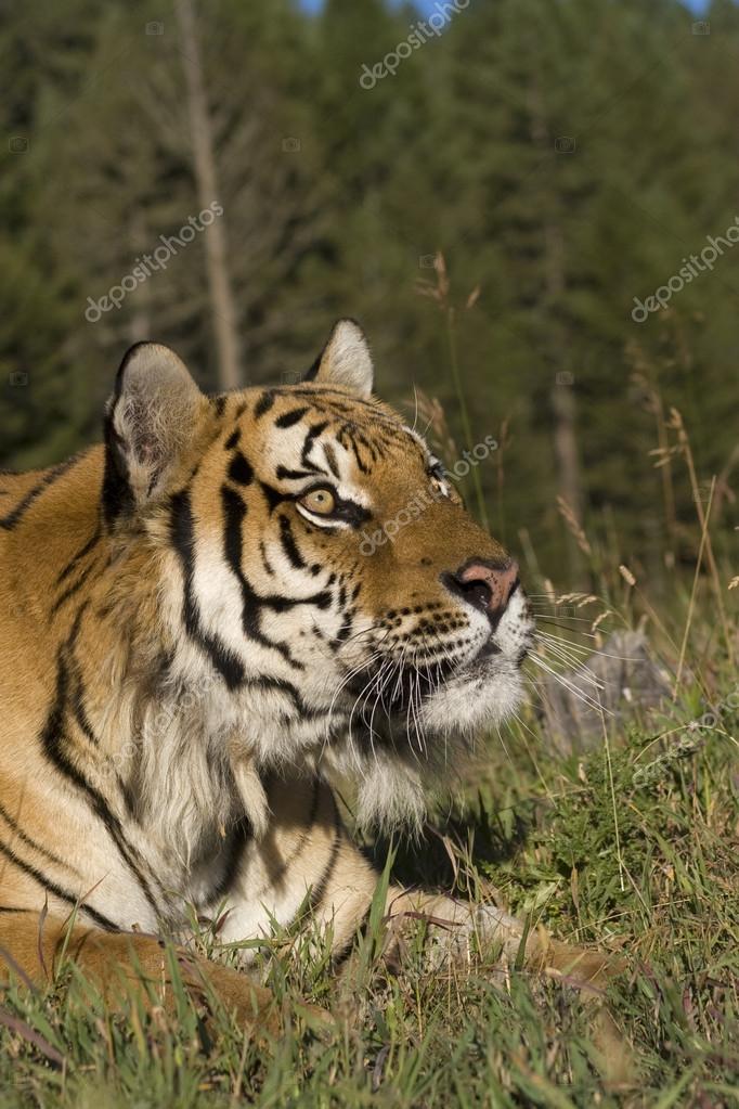 A Siberian Tiger Close Up Portrait