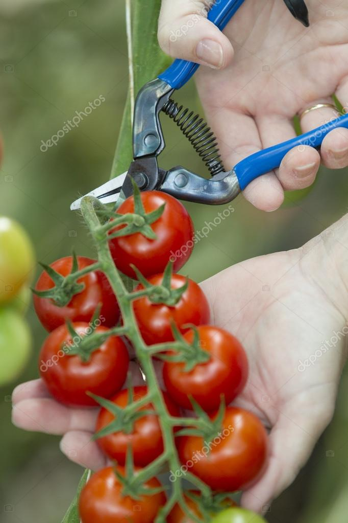 Harvesting tomatoes with gloves and scissors