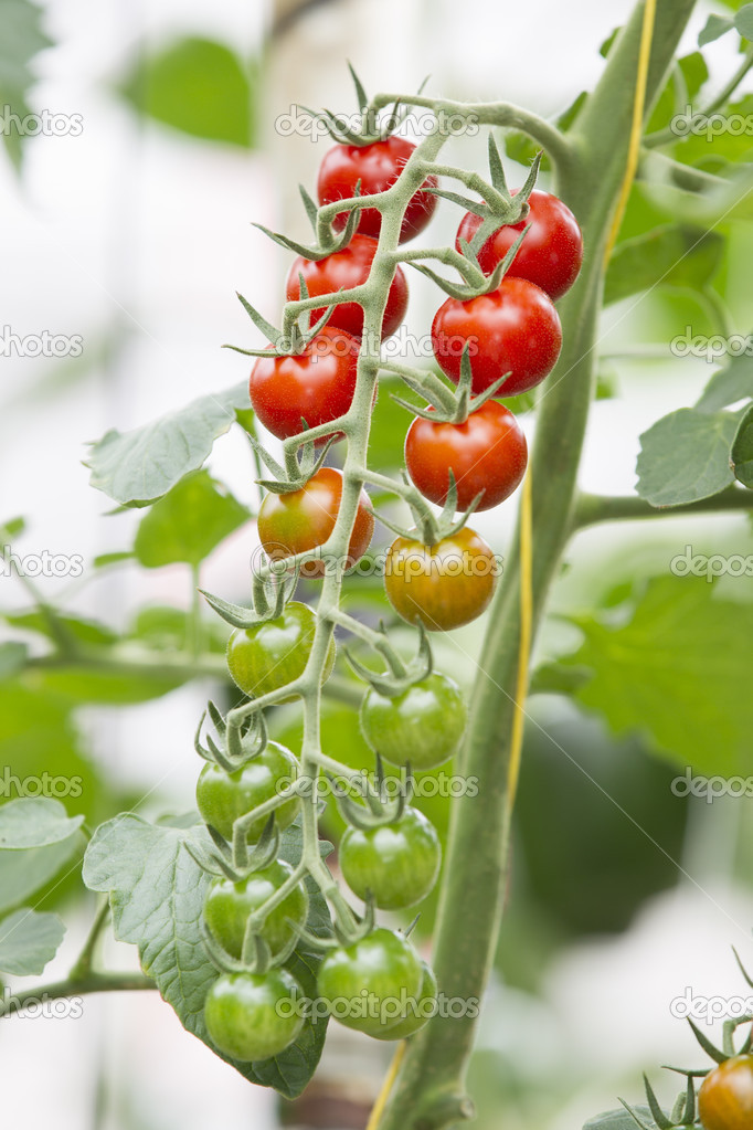 Tomato growing in a greenhouse