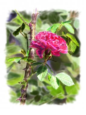 Red rose on a rosebush branch. With background.
