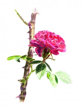 Red rose on a rosebush branch. Isolated.