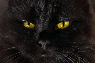 Severe black cat looking to you with bright yellow eyes