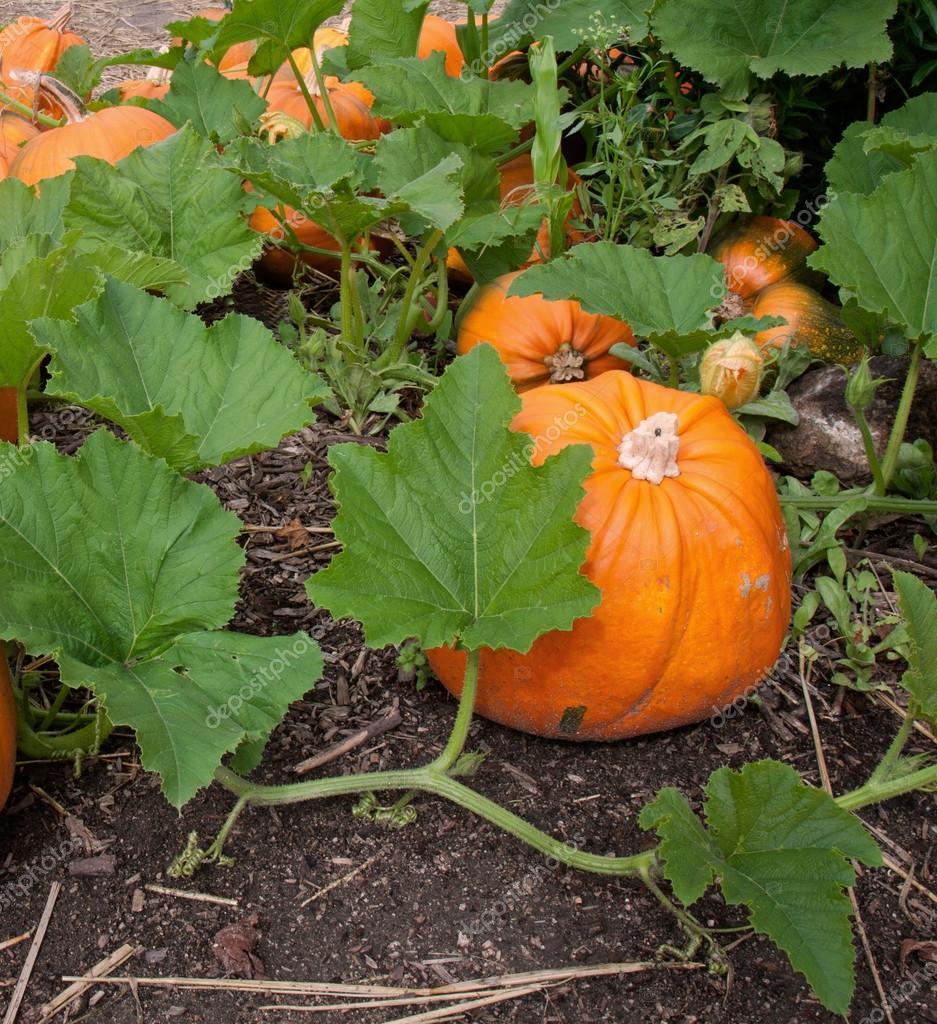 Pianta Di Zucca Di Halloween.Pianta Di Zucca Con Zucche Mature Foto Stock C Sarah Jane 28142643