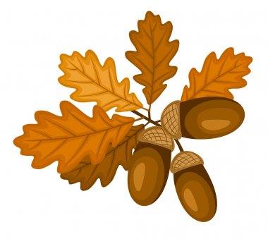 Oak branch with leaves and acorns. Vector illustration.