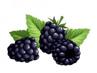 Blackberries isolated on a white background. Vector illustration.