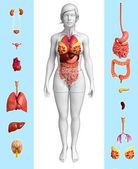 Fotografie ženské orgány anatomie