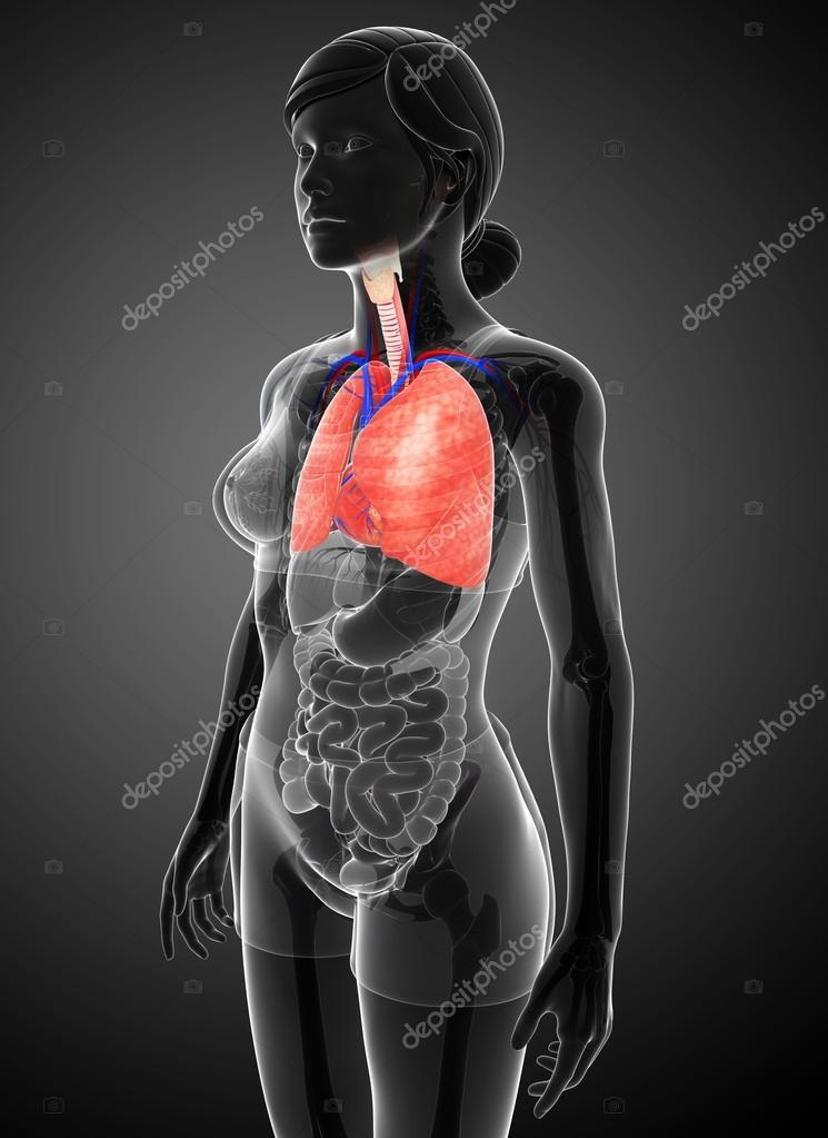 weibliche Lunge Anatomie — Stockfoto © pixdesign123 #49522137