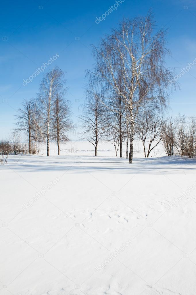 birches against blue sky in winter
